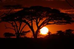 Afrika-Safarisonnenuntergang in den Bäumen Lizenzfreie Stockfotos