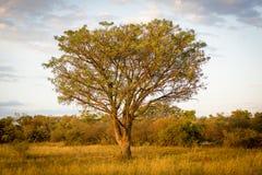 Afrika träd fotografering för bildbyråer