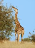 Afrika-wild lebende Tiere Giraffe stockfoto