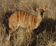Afrika-wild lebende Tiere: Nyala-Antilope lizenzfreie stockfotografie