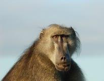 Afrika-wild lebende Tiere: Pavian Stockfoto