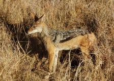 Afrika-wild lebende Tiere: Schwarzrückiger Jackal lizenzfreies stockbild