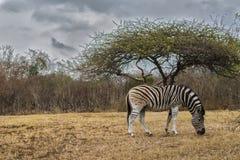 Afrika - Zebra Stockfoto