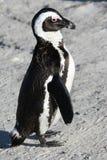 Afrikaan of de Pinguïn van de Domoor Royalty-vrije Stock Afbeeldingen