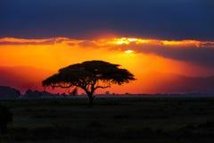 Afrikaans boomsilhouet op zonsondergang in savanne, Afrika, Kenia Royalty-vrije Stock Foto