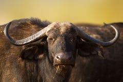 Afrikaans buffelsportret Stock Afbeeldingen
