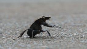 Afrikaans Dung Beetle zit in vuil stock videobeelden