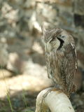 Afrikaans Eagle Owl Stock Afbeelding