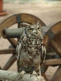 Afrikaans Eagle Owl Stock Afbeeldingen