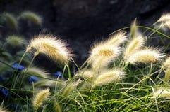 Afrikaans gras Stock Afbeelding