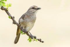 Afrikaans Grey Flycatcher Singing Royalty-vrije Stock Foto's