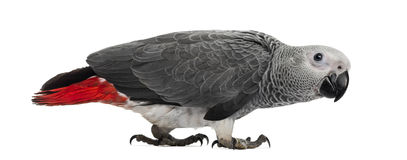 Afrikaans Grey Parrot (3 maanden oud) Royalty-vrije Stock Foto's
