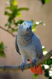 Afrikaans Grey Parrot op boom Stock Foto