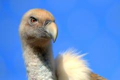 Afrikaans Griffon Vulture royalty-vrije stock foto's