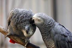 Afrikaans grijs papegaaipaar royalty-vrije stock foto's