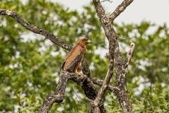 Afrikaans Hawk Eagle Botswana royalty-vrije stock afbeelding