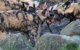 Afrikaans jachthondpak die paardkarkas het vechten eten stock afbeelding