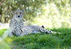 Afrikaans jachtluipaard volwassen wijfje bij schaduw grote kat Stock Afbeeldingen