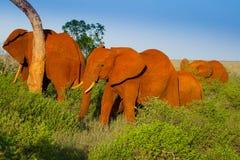 Afrikaans landschap met rode olifanten Royalty-vrije Stock Foto