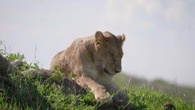 Afrikaans Lion Sleeping Lying On The-Gras in de Savanne stock videobeelden