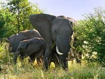 Afrikaans Olifant en kalf Royalty-vrije Stock Afbeelding