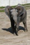 Afrikaans olifantskalf Stock Afbeeldingen