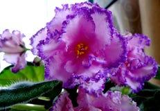 Afrikaans viooltje, saintpaulia Stock Afbeeldingen