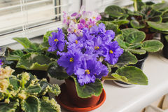 Afrikaans viooltje, Saintpaulia-bloem op venstervensterbank Royalty-vrije Stock Afbeelding