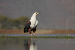 Afrikaans vis-Eagle, Haliaeetus vocifer Stock Afbeelding
