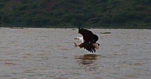 Afrikaans vis-Eagle, haliaeetus vocifer, Volwassene tijdens de vlucht, Vissen in Klauwen, die bij Baringo-Meer, Kenia vissen, stock video