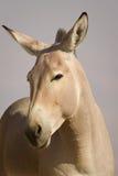 Afrikaans wild ezelsportret Stock Foto