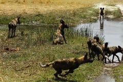 Afrikaans Wild Hondpak in Actie Royalty-vrije Stock Foto