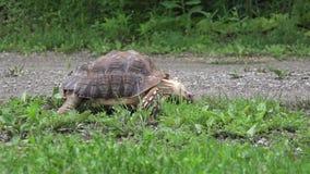 Afrikaanse Aangespoorde hongerige schildpad die gras eten stock footage