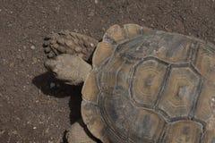 Afrikaanse Aangespoorde Schildpad Royalty-vrije Stock Afbeelding