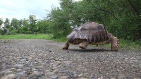 Afrikaanse Aangespoorde schildpad die de weg kruisen stock video