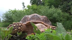 Afrikaanse aangespoorde schildpad die gras eet stock video