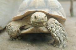 Afrikaanse aangespoorde schildpad of geochelonesulcata Royalty-vrije Stock Afbeelding
