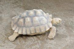 Afrikaanse aangespoorde schildpad of geochelonesulcata Royalty-vrije Stock Foto's