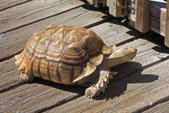 Afrikaanse Aangespoorde Schildpad op een Voetgangersbrug Royalty-vrije Stock Afbeeldingen