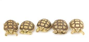 Afrikaanse Aangespoorde Schildpadden (sulcata Geochelone) Royalty-vrije Stock Afbeeldingen