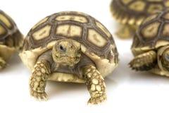 Afrikaanse Aangespoorde Schildpadden (sulcata Geochelone) Royalty-vrije Stock Foto's