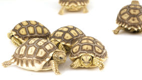 Afrikaanse Aangespoorde Schildpadden (sulcata Geochelone) Royalty-vrije Stock Foto