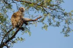 Afrikaanse aap (Kenia) Stock Fotografie