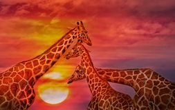 Afrikaanse achtergrond, Giraffen tegen de zonsonderganghemel royalty-vrije stock foto's