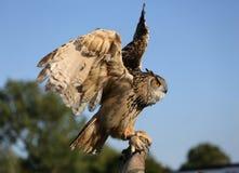 Afrikaanse adelaarsuil op hand Stock Afbeelding