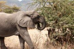 Afrikaanse africana die van Olifantsloxodonta in struiken eten royalty-vrije stock foto