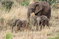 Afrikaanse africana van Loxodonta van de struikolifant Royalty-vrije Stock Fotografie