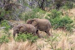 Afrikaanse africana van Loxodonta van de struikolifant Royalty-vrije Stock Foto's