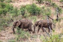 Afrikaanse africana van Loxodonta van de struikolifant Stock Foto's