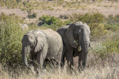 Afrikaanse africana van Loxodonta van de struikolifant Stock Afbeeldingen